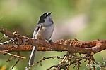 CHICKADEE - black-capped chickadee, ; poccile atricapillus