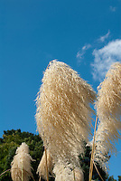 Ornamental Grass Cortaderia fulvida Pampas Grass flower head against blue sky
