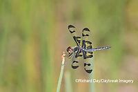 06580-00213 Banded Pennant (Celithemis fasciata) male Washinton Co. MO