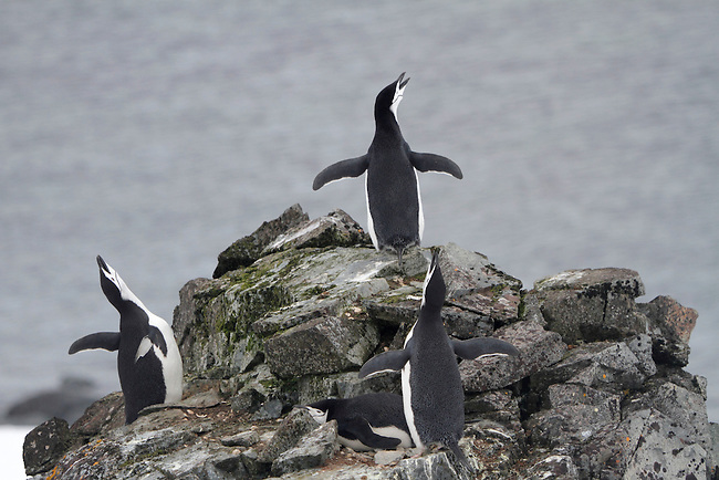 Single Chinstrap Penguins, probably males, make ecstatic displays. Half Moon Is. Sth Shetland Is. Antarctica Antarctica