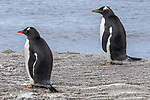 Gentoo Penguins, Deception Island
