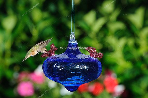 Hummingbird at a blue glass backyard hummingbird feeder;  Southern California