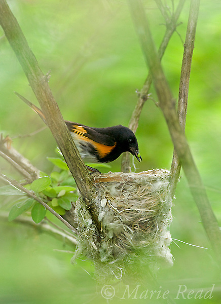 American Redstart (Setophaga ruticilla), male bringing food to nest for young, New York, USA