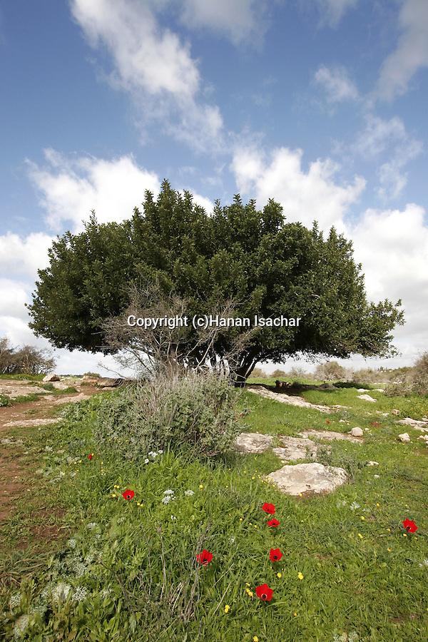 Israel, the Shephelah. Site of Hurbat Midras, a settlement from the kings of Judah period