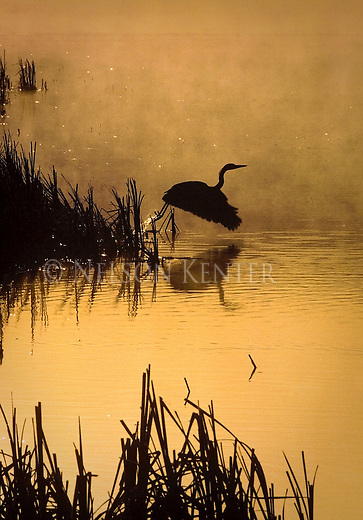 Silhouette of a Great Blue Heron taking flight over a pond in the Lee Metcalf Wildlife Refuge in western Montana at sunrise
