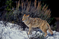 617506030 a captive coyote canis latrans wanders through heavy snow in a small forested area in central montana