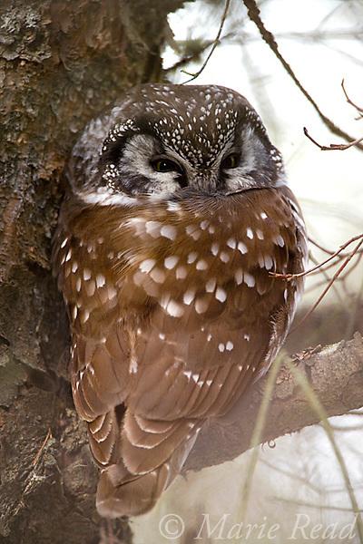 Boreal Owl (Aegolius funereus), roosting, Amherst Island, Ontario, Canada.