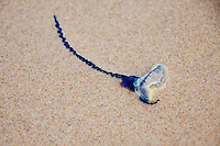 February 15th 2010. The Summer northerly winds bring Blue Bottle stingers onto most of the beaches on the Gold Coast,  Coolangatta, Queensland, Australia. The Blue Bottles can casue nasty stings from their long tenticles. Photo: Joliphotos.com
