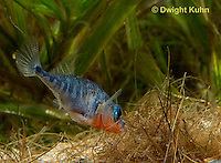 1S22-544z  Male Threespine Stickleback shaping nest by pushing plant materials with it mouth, mating colors showing bright red belly and blue eyes,  Gasterosteus aculeatus,  Hotel Lake British Columbia