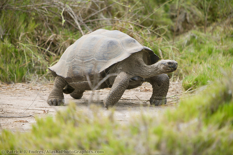 Giant Galapagos Tortoise, Galapagos Islands, Ecuador