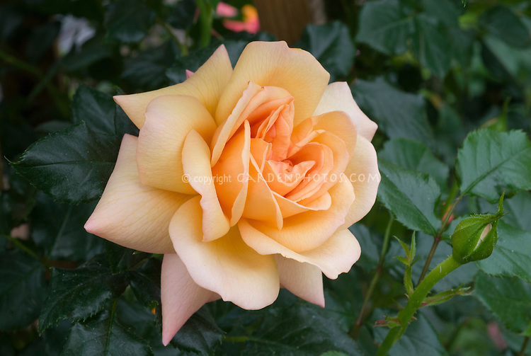 New Chelsea Flower Show 2015 Plant: Rosa Susie ('Harwhistle'). Available from Harkness Roses.