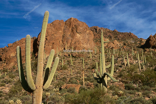 Saguaros against the Tucson Mountains in the Sonoran Desert