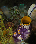 Indonesia, Lembeh, Lembeh Straits, Tunicates, Underwater macro marine life images, underwater marine life
