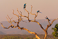 Lagoa das Araras in Cerrado Brasil is a magic place where the Ara Parrots created their nest in the palm trunk. At the sunset  light in silent atmosphere couple of parrots fly to find food for their chicks