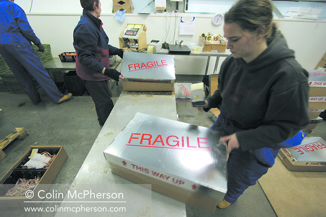 Night workers at a factory near Shieldaig in Wester Ross packing freshly-caught prawns for export.
