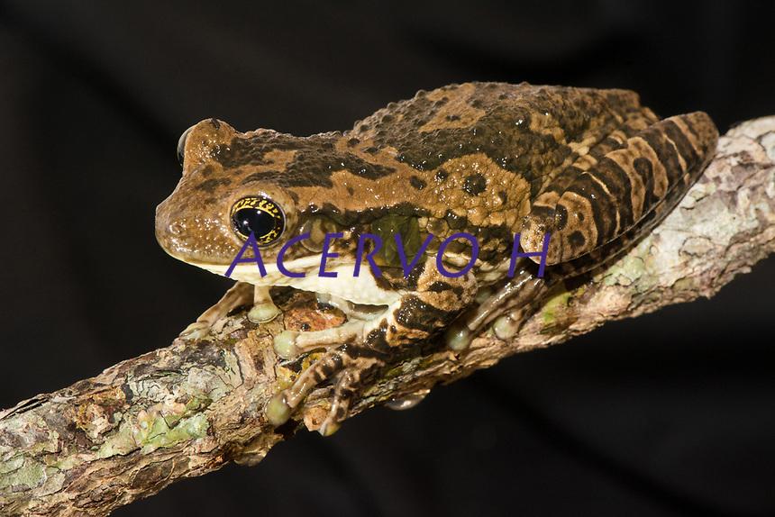 Trachycephalus typhonius (Linnaeus, 1758)<br /> Nome-ing&ecirc;s: Amazon Milk Frog<br /> .<br /> Esp&eacute;cie de perereca amplamente distribuida na Amaz&ocirc;nia. &Eacute; comumente usada como animal de estima&ccedil;&atilde;o, especialmente nos Estados Unidos e Europa.<br /> .<br /> .<br /> Imagem feita em 2017 durante expedi&ccedil;&atilde;o cient&iacute;fica para a regi&atilde;o do Lago Tef&eacute;, Tef&eacute;, Amazonas, Brasil. A expedi&ccedil;&atilde;o, financiada pelo  Conselho Nacional de Desenvolvimento Cient&iacute;fico e Tecnol&oacute;gico, teve o abjetivo de reencontrar esp&eacute;cies de anf&iacute;bios descritas pelo explorador Johann Baptist von Spix no ano de 1824.