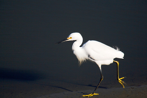 SNOWY EGRET TIPTOEING THROUGH THE MUD AT BOLSA CHICA RESERVE, BOLSA CHICA, CALIFORNIA
