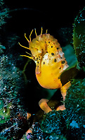 Australian Pot Bellied seahorse, Hippocampus abdominalis, female with eggs in belly, holding onto a kelp frond, pirates Bay, Eaglehawk Neck, Tasmania, Australia, Southern Ocean