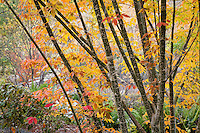 Acer henryi tree (Henrys Maple) in fall foliage color with orange and yellow leaves at Quarryhill Botanical Garden