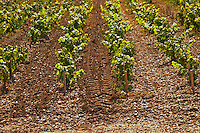 After a vineyard tractor equipped with claws to work the soil and remove weed has passed to the left. To the right the soil has not been aerated yet - Chateau Belgrave, Haut-Medoc, Grand Crus Classee 1855