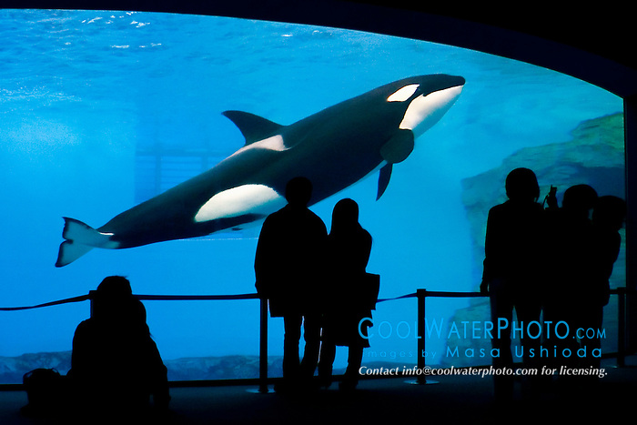 orca, Orcinus orca,  and aquarium visitors