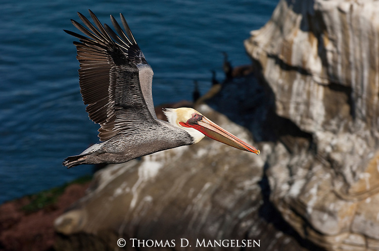 Portrait of a brown pelican flying in California.