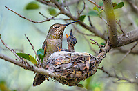 Anna' Hummingbird nest (Calypte anna)--female with young chicks.  Arizona.  February-March.