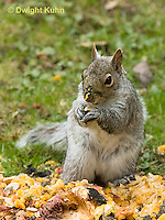 MA23-545z  Gray squirrel eating pumpkin fruit and seeds, Sciurus carolinensis