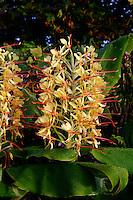 Ingwerlilie (Hedychium gardnerianum) auf der Insel Flores, Azoren, Portugal