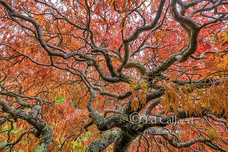 Japanese Maple, Laceleaf, Acer Palmatum, Fern Canyon Garden, Mill Valley, California