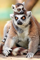Ring-tailed Lemurs (Lemur catta), female with a cub, Berenty Reservat, Madagascar, Africa