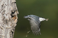 White-breasted Nuthatch, Sitta carolinensis,adult female removing nesting material from cavity in aspen tree, Rocky Mountain National Park, Colorado, USA, June 2007