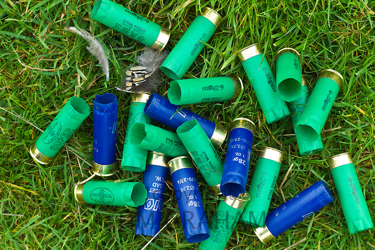 Spent cartridges from 12 bore shotgun (6-28 gm and 28gm 1 ounce) in English countryside