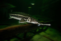 The starry sturgeon, Acipenser stellatus, also known as stellate sturgeon at Danube Delta Eco-Tourism Museum Center aqaurium in Tulcea, Danube Delta, Romania (captive). DIGITALLY CLEANED. It is considered critically endangered by the IUCN and international trade in this species (including its caviar) is restricted by CITES. The starry sturgeon is an anadromous species, which migrates up rivers to spawn and reach 220 cm (7.2 ft) in length and weighs up to 80 kg (180 lb). The starry sturgeon feeds on fish, worms, crustaceans and mollusks.