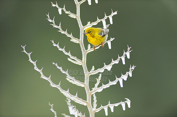 Pine Warbler (Dendroica pinus), male perched on icy branch, Dinero, Lake Corpus Christi, South Texas, USA