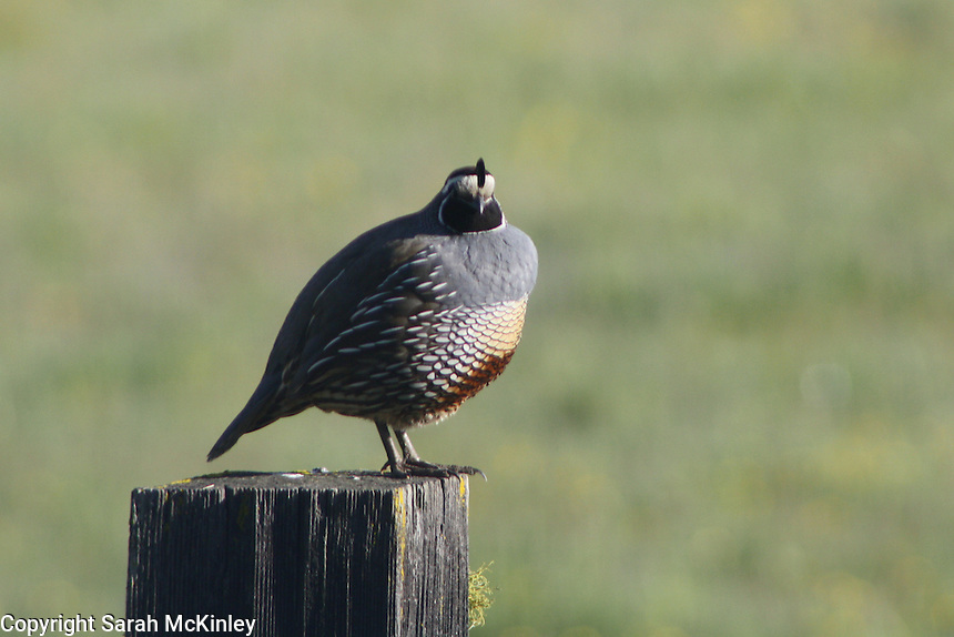 A male California Quail stands on top of a fencepost outside of Willits in Mendocino County in Northern California.