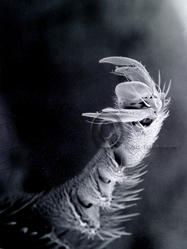 Detail of the hind leg of a bee appearing as a hook when magnified 70 times under a scanning electron microscope..