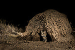 Black-footed Cat (Felis nigripes) male emerging from termite mound den at night, Benfontein Nature Reserve, South Africa