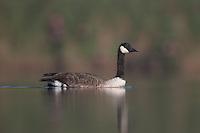 Canada Goose (Branta canadensis), East Pond, Jamaica Bay Wildlife Refuge