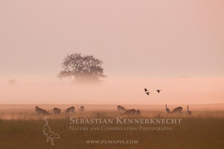 Lechwe (Kobus leche) herd, Saddle-billed Stork (Ephippiorhynchus senegalensis)  pair, and Spur-winged Goose (Plectropterus gambensis) trio in floodplain at sunrise, Busanga Plains, Kafue National Park, Zambia