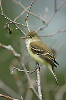 Alder Flycatcher (Empidonax alnorum