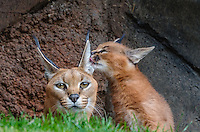 "Caracal (Caracal caracal) mom being licked by about 6 weeks old kitten.  The word ""Caracal"" comes from the Turkish word ""karakulak"" which means ""black ear.""  Found in Africa through Central Asia and India."