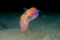 Hawaiian bobtail squid, Euprymna scolopes, endemic species, South Shore, Oahu, Hawaii, Pacific Ocean