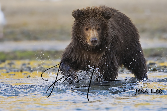 A photo of a grizzly cub walking through the water. Grizzly Bear or brown bear alaska Alaska Brown bears also known as Costal Grizzlies or grizzly bears