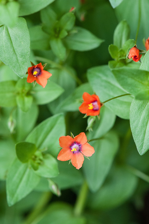 Scarlet pimpernel (Anagallis arvensis), mid June. Also known as red pimpernel, red chickweed, poorman's barometer, poor man's weather-glass, shepherd's weather glass, or shepherd's clock.