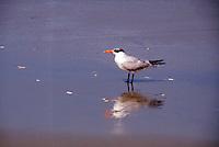 BIRDS<br /> Royal Tern<br /> Sterna maxima, Corolla, NC