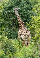 Masai Giraffe, Giraffa camelopardalis tippelskirchii, in Arusha National Park, Tanzania