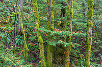 ORCG_D218 - USA, Oregon, Columbia River Gorge National Scenic Area, Lush autumn forest with boughs of western hemlock reaching through mossy, slim trunks of bigleaf maple - near Gorton Creek.