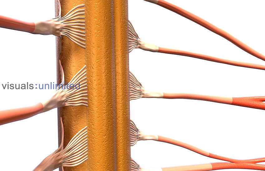 An anterolateral view (right side) of the spinal cord. Royalty Free