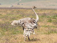 Female Common Ostrich, Struthio camelus, in Ngorongoro Crater, Ngorongoro Conservation Area, Tanzania